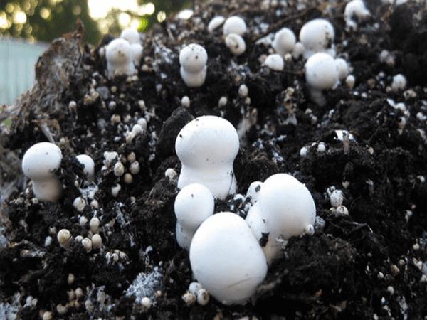 دیگ بخار پرورش قارچ